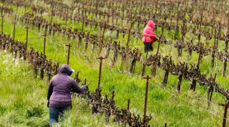 Tips on vineyard work organization during the virus epidemic